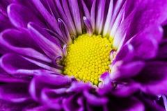 Macro Purple Daisy Stock Photo