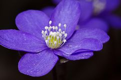 Macro of purple flower Royalty Free Stock Photos