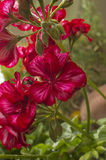 Macro purple flowers. Macro, close up, detail of flower rainy day Royalty Free Stock Photography