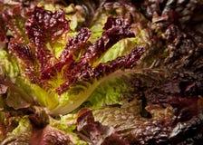 Macro of purple lettuce Stock Image