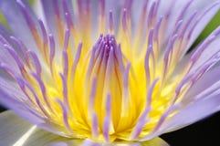 Macro purple lotus Royalty Free Stock Photography