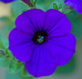 Macro of Purple Petunia Stock Image