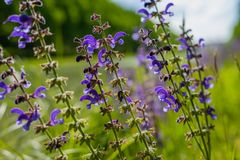 Macro of purple plant. At sunny day royalty free stock photo