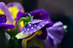Macro purple primrose with raindrop. On leaves Stock Image