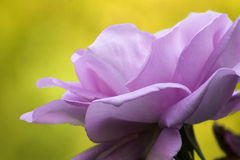 Macro purple rose. Beautiful purple rose on yellow blurry background Stock Photos