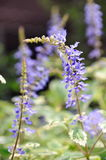 Macro of purple salvia flowers Royalty Free Stock Photo