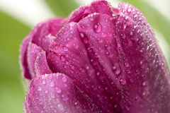 Macro of Purple Tulips with Water Drops Stock Images