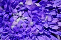 Macro purple and white dahlia stock image