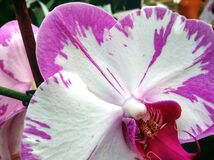 Macro of Purple and White Flower Royalty Free Stock Photo
