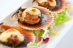 Macro queen scallop close up. Stock Photos