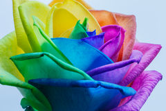 Macro of rainbow rose flower Royalty Free Stock Photo