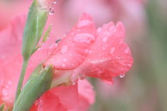 Macro raindrop on flower, gladiolus flower Royalty Free Stock Image