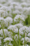 Macro from ramsons Royalty Free Stock Image