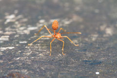 Macro of red ant Royalty Free Stock Photo