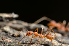 macro red ant on wood Royalty Free Stock Images