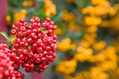 Macro of a red berry pyracantha shrub Royalty Free Stock Photo