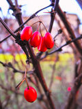 Macro red berry. Macro shot of red small berry in the winter Royalty Free Stock Image