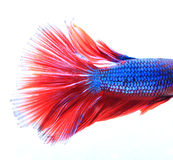 Macro of Red and Blue Siamese fighting fish, Betta Splendens iso Stock Photos