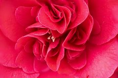 Macro double red camelia flower royalty free stock images