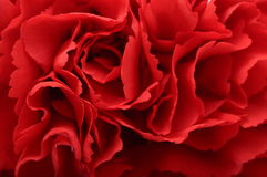 Macro of red carnation texture Stock Photography