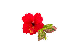 Macro of red China Rose flower Chinese hibiscus flower  isolate on white background.Saved with clipping path. Stock Photos