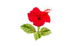 Macro of red China Rose flower Chinese hibiscus flower  isolate on white background.Saved with clipping path. Stock Photography