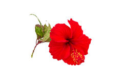 Macro of red China Rose flower Chinese hibiscus flower  isolate on white background.Saved with clipping path. Royalty Free Stock Image