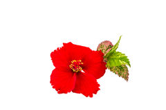 Macro of red China Rose flower Chinese hibiscus flower  isolate on white background.Saved with clipping path. Royalty Free Stock Photography
