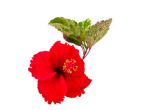 Macro of red China Rose flower Chinese hibiscus flower  isolate on white background.Saved with clipping path. Royalty Free Stock Photos