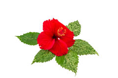 Macro of red China Rose flower Chinese hibiscus flower on white .Saved with clipping path. Royalty Free Stock Photography