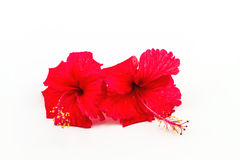 Macro of red China Rose flower (Chinese hibiscus, Hibiscus rosa- Stock Photos