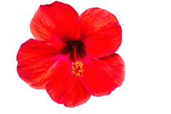 Macro of red China Rose flower (Chinese hibiscus, Hibiscus rosa-sinesis,Hawaiian hibiscuc,shoe flower on white background. Stock Photography