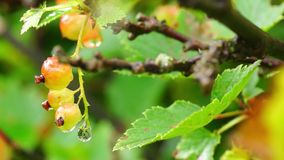 Macro of red currant getting ripe stock video footage
