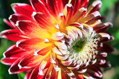 Macro of a red dahlia Stock Photography
