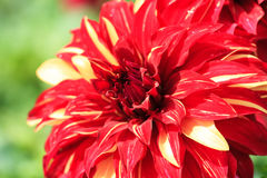 Macro of a red dahlia Stock Image