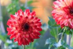 Macro of red dahlia Royalty Free Stock Photo