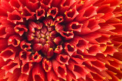 Macro of Red dahlia flower bud Stock Images