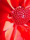 Macro red dahlia flower Stock Photos