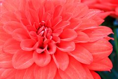 Macro of red dahlia flower Royalty Free Stock Photography