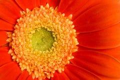 Macro of red daisy. Macro of beautiful red daisy Royalty Free Stock Photos