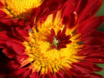 Macro of red flower. Macro of red strange chrysanthemum royalty free stock photos