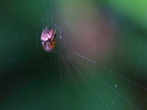 Macro red garden orb webbing spider. A small red garden orb weaver spider in the middle of the web Stock Images