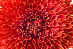Macro of red georgina Royalty Free Stock Photo