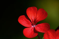 Macro of a red geranium flower Royalty Free Stock Photography