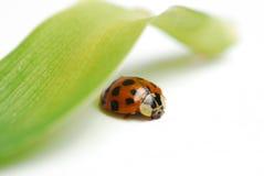 Macro red ladybug Stock Image