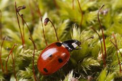 Macro red ladybug on a fluffy moss spring. Stock Photos