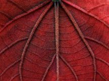 Macro red leave texture Stock Photography