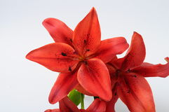 Macro of red lily Royalty Free Stock Image