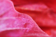 Macro red petal of a flower hibiscus family Malvaceae. Stock Image
