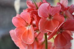 Macro red-pink flower in spring on the window stock photo